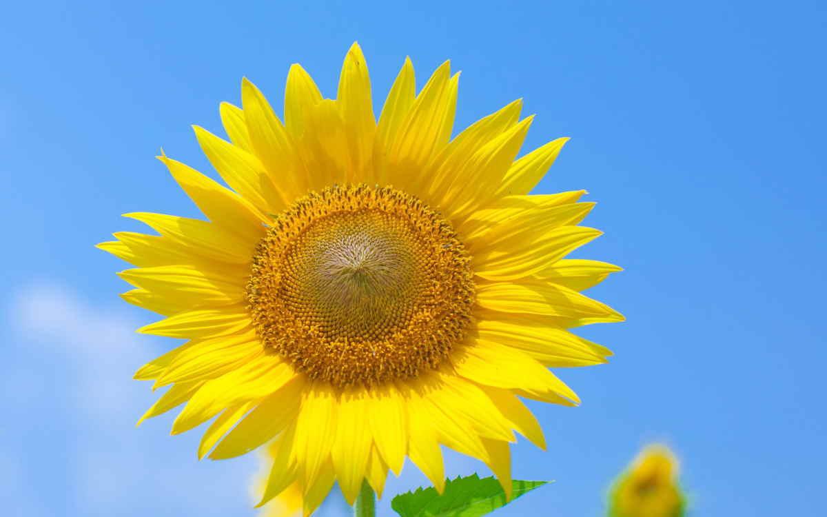 ヒマワリ大輪の花イメージ画像