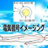 電気信号イメージング